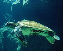 Caretta-Caretta turtle